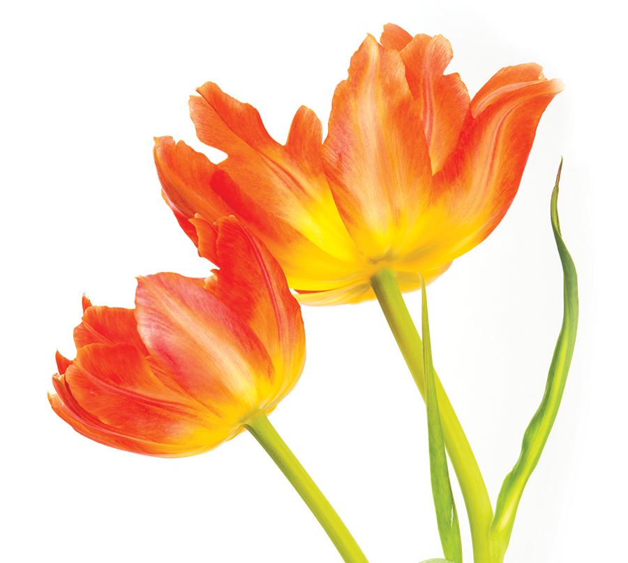 Two vibrant  spring  fancy yellow and orange tulips arranged against a white background.