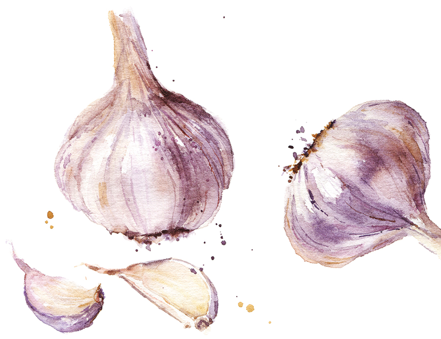 A garlic isolated on white background, watercolor illustration