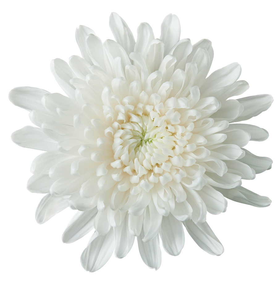 white chrysanthemum on pure white. clipping path included.Related images: